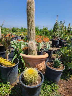 Barrel cactus for Sale in Ontario, CA