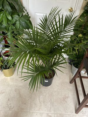 Majesty palm plant live for Sale in Vancouver, WA