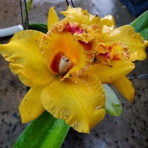 Cattleya Golden Ruby Orchid Flower Pots for Sale in Santa Ana, CA