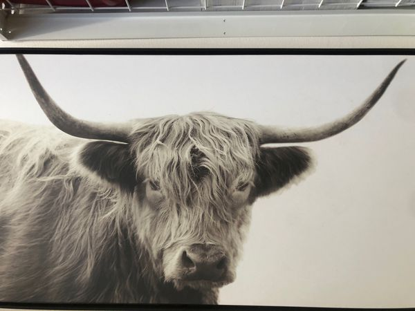 Cool bull print on canvas 2ftx 4ft