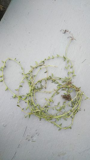 String of bananas succulent plant for Sale in Fullerton, CA