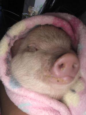 Piglet for Sale in Hesperia, CA