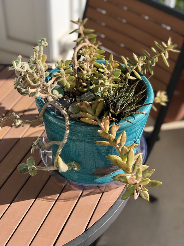 Various succulents in large teal ceramic planter