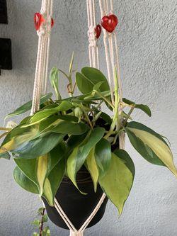Plants De Sombra Chica Con Colgadera for Sale in South Gate,  CA