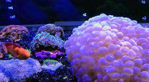 Silver Bubble Coral for Sale in Hialeah, FL
