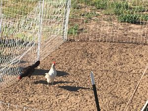 Poultry electric fence for Sale in Clermont, FL