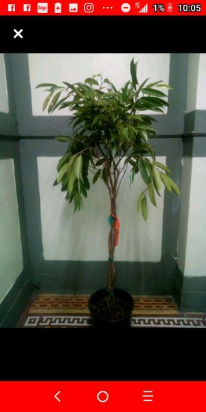 Ficus tree for Sale in The Bronx, NY