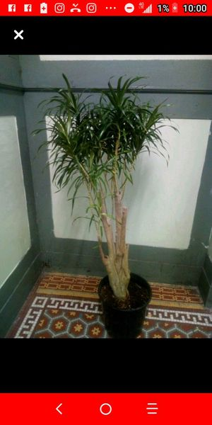 Margeneta plant for Sale in The Bronx, NY