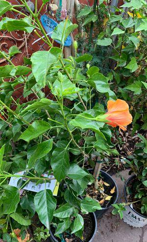 Planta natural for Sale in Vallejo, CA