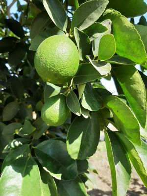 Limones limes fresh cut for Sale in Patterson, CA