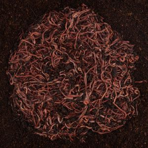 50 Redworms For sale!! Free Shipping!!! for Sale in Plymouth, NC