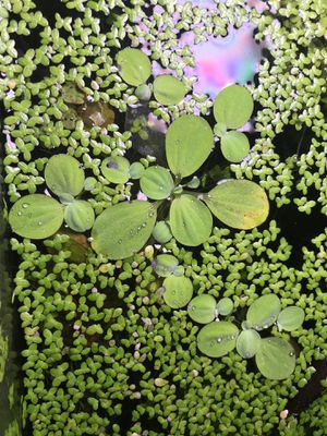 Dwarf water lettuce (Aquarium Plant) for Sale in Brooklyn, NY