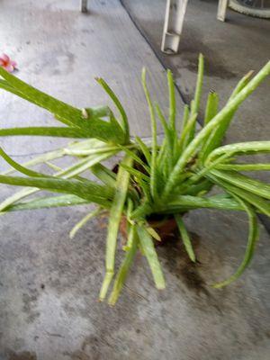 Planta Aloe vera. for Sale in Anaheim, CA