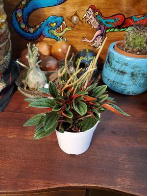 Peperomia obtusifolia plant for Sale in Stanwood, WA