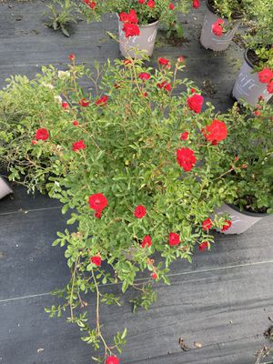 Perennial plants roses flowers evergreens for Sale in Mount Laurel Township, NJ