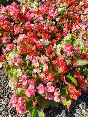 Begonias 4 inch $3 o 4 por $10 for Sale in Colton, CA