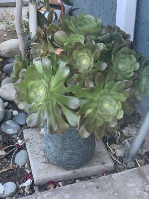 Plant (including pot) for Sale in Riverside, CA