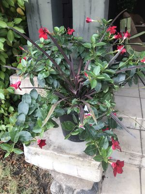 Potted flower plant Dipladenia for Sale in Monrovia, CA