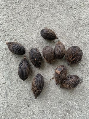 Foxtail palm seeds for Sale in Mims, FL