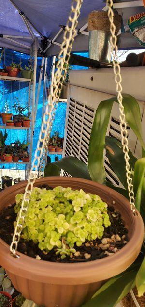 Succulents plants for Sale in Rialto, CA