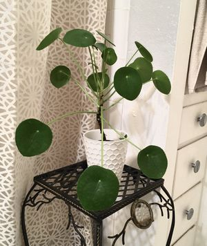 House Plant with Pot: Pilea peperomioide for Sale in Seattle, WA