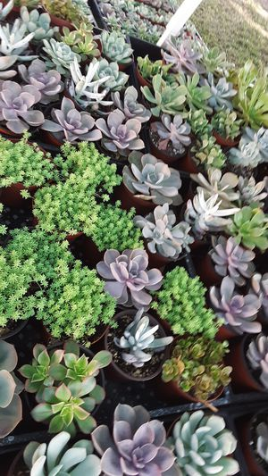 """4"""" pots with succulent plants this week only $2.25 each for Sale in La Mirada, CA"""