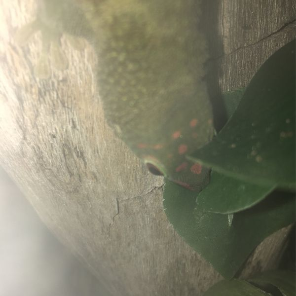 Toy Giant Day gecko Look below in Description For More Details (Acepting Trades Also)