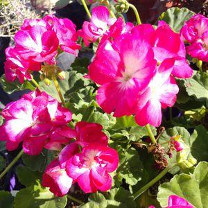 Splash Strawberry Geranium for Sale in Glendale, AZ