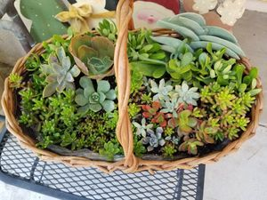 Succulents for sale for Sale in Chino Hills, CA