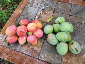 Homegrown Mangos(end of season) for Sale in Hollywood, FL