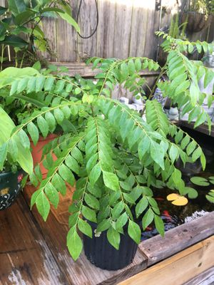 Curry plant for Sale in Ponte Vedra Beach, FL