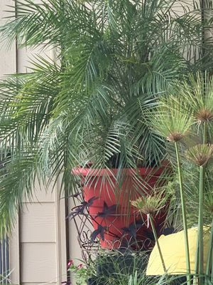 Big pot palm tree for Sale in Houston, TX