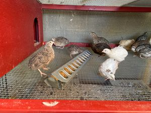 Coutrnix quail jumbo for Sale in Los Angeles, CA