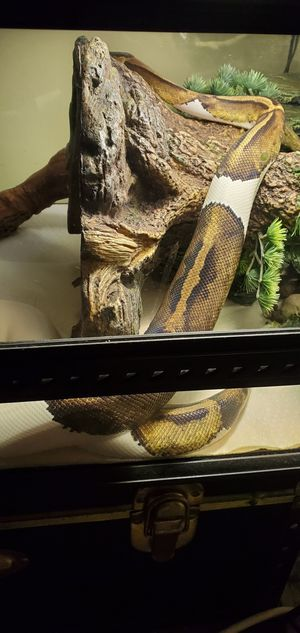 Female Ball Python (Everything included) for Sale in Miami Gardens, FL