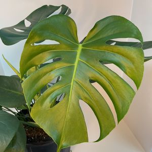 "Monstera Deliciosa 8"" for Sale in Orlando, FL"