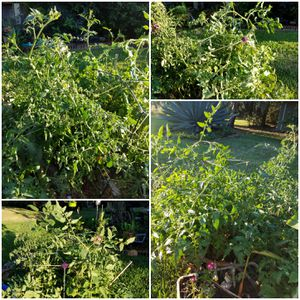 Huge tomato plants- many foliage plants as well for Sale in Sarasota, FL