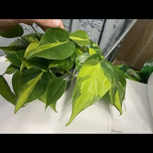 Brazil Philodendron Cutting for Sale in Hialeah, FL