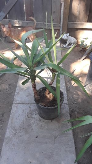 Potted yucca plant for Sale in Modesto, CA