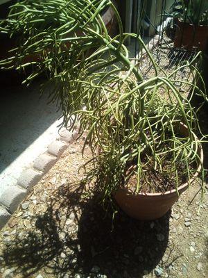 Firecracker Plant for Sale in Tempe, AZ