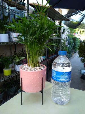 BELLA INDOOR PALM for Sale in Paramount, CA