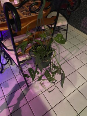 Monstera Adesonaii in 8 in hanging basket for Sale in Euless, TX