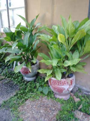 Pots with plant for Sale in Hialeah, FL