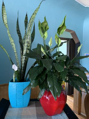 Snake plant and peace lily plant for Sale in Lakewood, CO