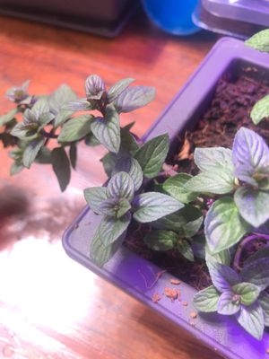 Chocolate mint plants for Sale in Hermosa Beach, CA