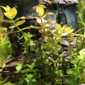 Bacopa carolininia live aquarium plants for Sale in Mukilteo, WA