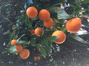 Oranges for Sale in Pico Rivera, CA