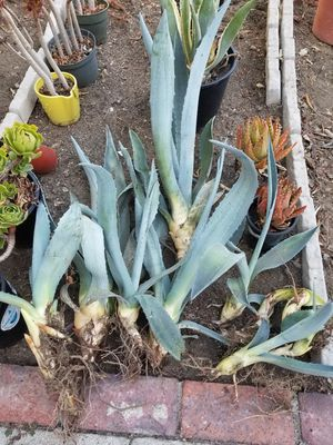 Agave for Sale in Glendale, CA