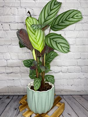 """14"""" Tall Calathea Setosa """"Exotica"""" Tropical Houseplant in 6"""" Green Sand Texture Ceramic Pot for Sale in Los Angeles, CA"""
