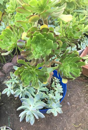 Aeoniums with succulent for Sale in Santa Ana, CA