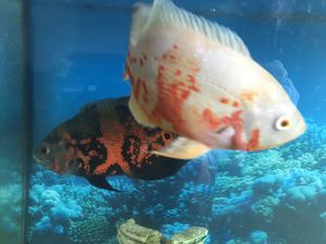 55 gallons fish tank for Sale in Garland, TX